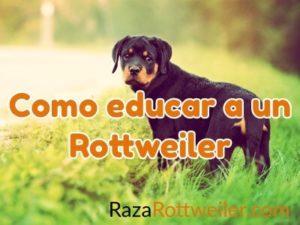 Como educar a un Rottweiler