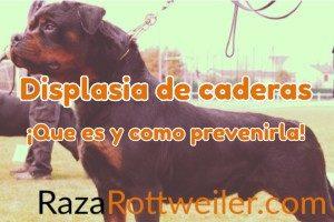Displasia de cadera en el Rottweiler