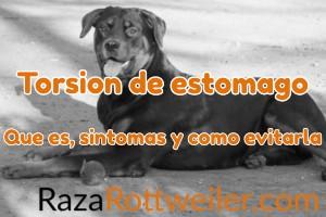 Torsión de estómago en perros Rottweiler