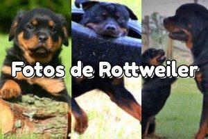 Fotos de Rottweiler
