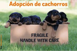 Cachorros Rottweiler en adopción