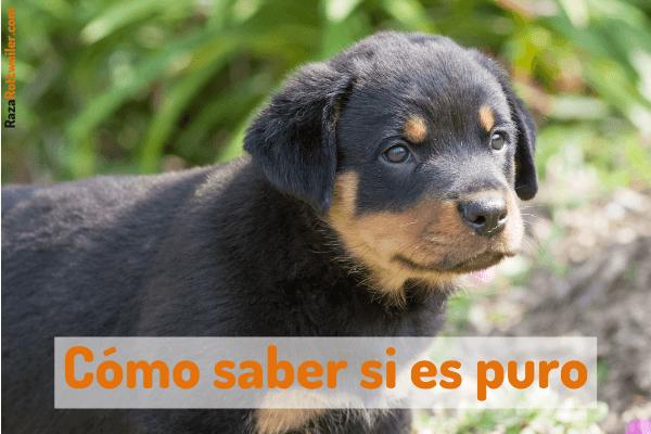 Cómo reconocer un cachorro Rottweiler puro