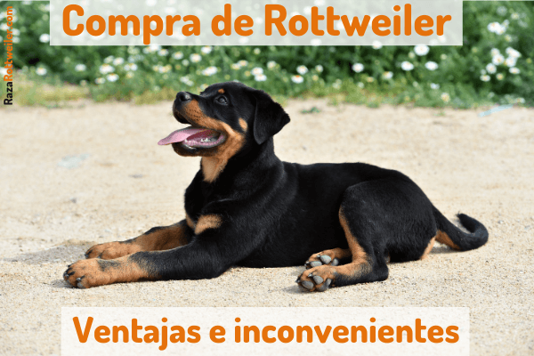 Comprar Rottweiler
