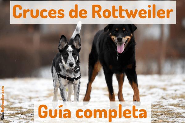 Cruza de Rottweiler