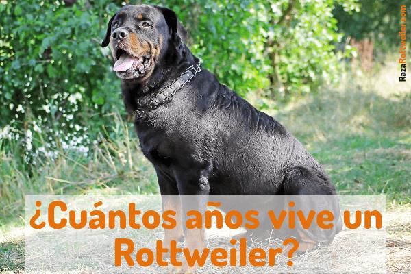 Cuantos años vive un Rottweiler