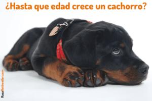 Hasta que edad crecen los cachorros Rottweiler