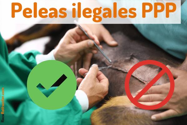 Peleas de perros clandestinas pitbull vs rottweiler
