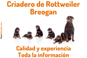 Rottweiler Breogan