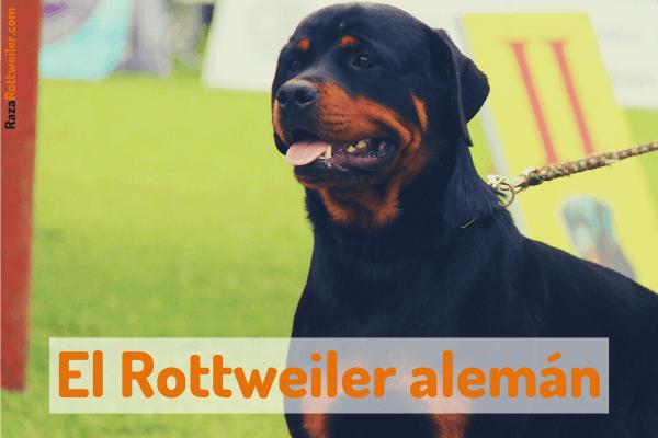 Rottweiler alemán
