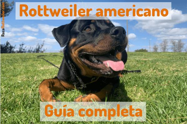 Rottweiler americano