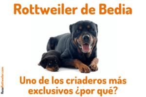 Rottweiler de Bedia