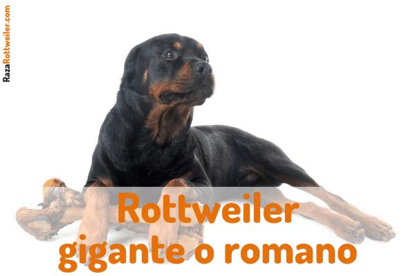 Rottweiler gigante o romano
