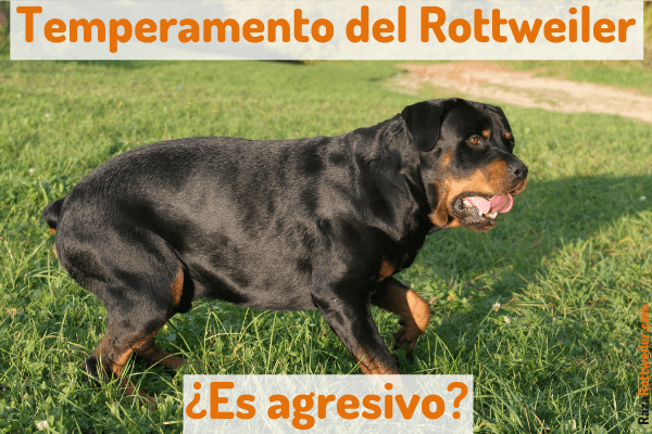 Rottweiler temperamento